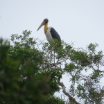 The endangered lesser adjutant bird