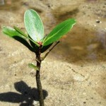 Mangrove Tree Seedling