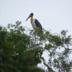 The endangered lesser adjutant bird